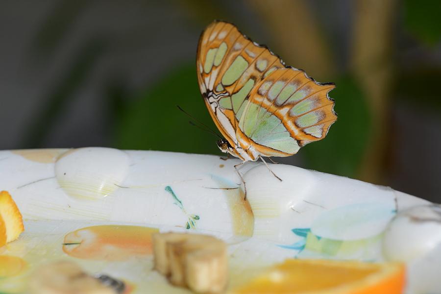 Insektenfutterung Schmetterlingsfarm Trassenheide