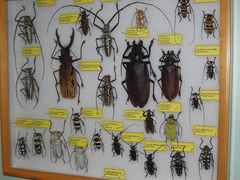 größte heimische käfer